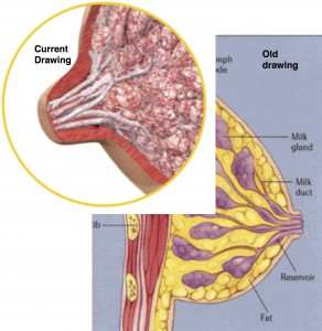 breast diagrams cropped